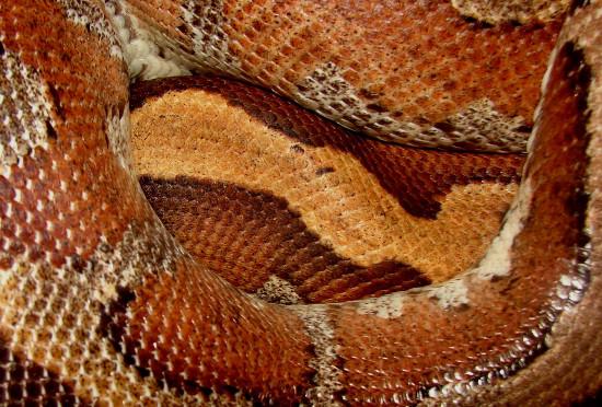 """Do màu sắc này, tên gọi quốc tế thông dụng của trăn cộc là """"trăn máu"""" (blood python)."""