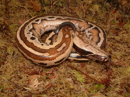 Chúng cũng được bắt gặp tại nhiều khu vực khác của Đông Nam Á.