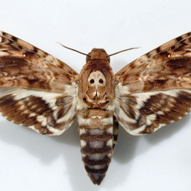 """Loài bướm """"Thần chết"""" có khả năng """"nói"""""""