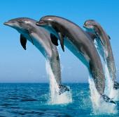 Cá heo non cứu cả đàn hơn 100 con khỏi mắc cạn