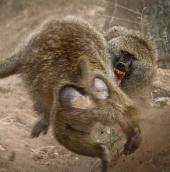 Video: Cuộc chiến của khỉ đầu chó