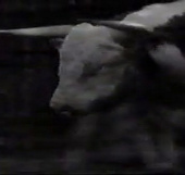 Video: Hỗn chiến kinh hoàng giữa bò và sư tử