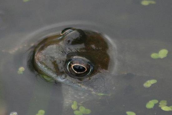 Ếch thường kêu to hơn và dài hơn thường lệ khi chuẩn bị có thời tiết xấu. Khi ếch kêu to hơn, bạn có thể nghĩ đến một cơn bão đang đến ngày.