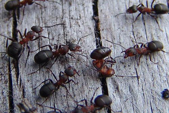 Để chuẩn bị cho tiết trời xấu, kiến đen và đỏ thường gia cố và thậm chí là che chắn cho lỗ vào tổ. Nếu bạn thấy tổ kiến được đôn cao, nghĩa là thời tiết xấu sắp tới.