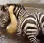 Video: Ngựa vằn dìm sư tử xuống đầm