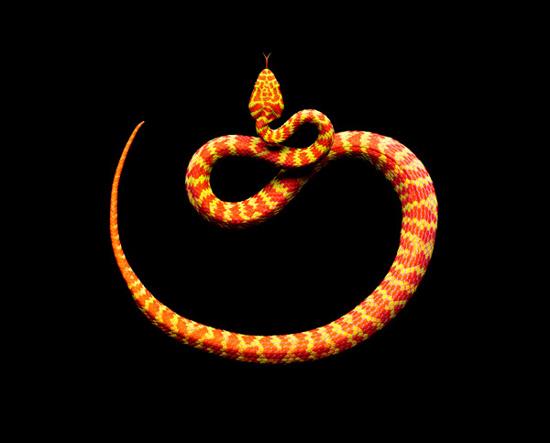 Beautiful Piviper (Trimeresurus) thuộc chi rắn độc Pitviper thường được tìm thấy ở vùng nam Thái Lan.