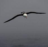 """Chim hải âu """"thọ nhất thế giới"""" đẻ trứng ở tuổi 62"""
