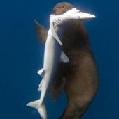 Video: Hải cẩu Nam Phi cắn cổ cá mập
