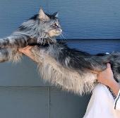 Con mèo dài nhất thế giới qua đời