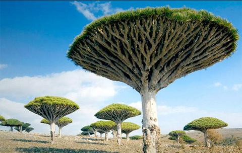 Cây máu rồng (Dracaena draco) là một loài cây cận nhiệt đới trên quần đảo  Socotra của Yemen. Quần đảo này nằm trong Ấn Độ Dương và gần vịnh Aden.