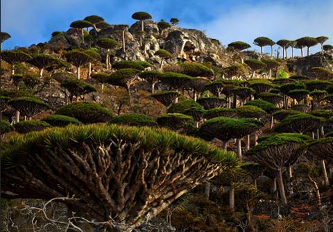 Kiểu sinh trưởng của cây máu rồng rất khác thường. Khi cây còn nhỏ, chúng chỉ có một thân.