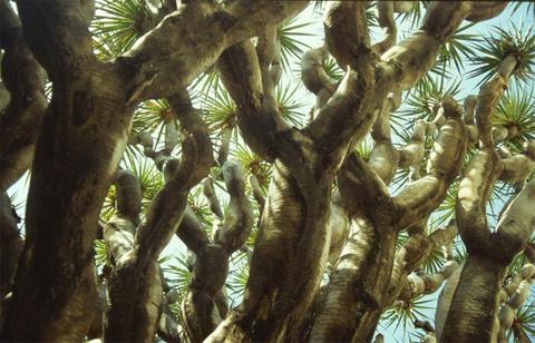 Sau đó những chồi non bật lên và cây bắt đầu phân nhánh.