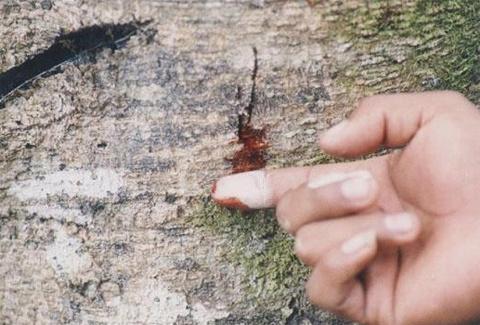 Nhựa của cây có màu đỏ như máu, chua và hơi  nồng. Vì thế người ta gọi chúng là cây máu rồng.