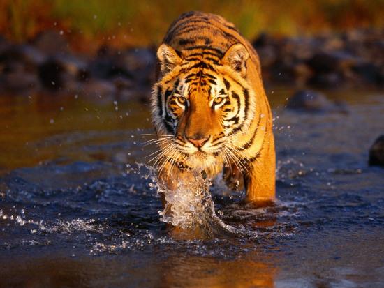 Hổ Bengal đang bị đe dọa tuyệt chủng tại khu vực Nepal và Ấn Độ