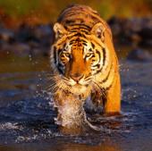 Loài hổ Bengal quý hiếm đang bị đe dọa tuyệt chủng