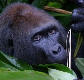 Congo lập khu bảo tồn khỉ đột