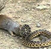 Video: Sóc đánh nhau với rắn trâu