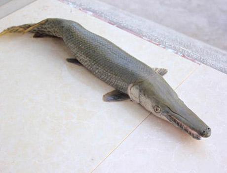 Cá vảy rắn