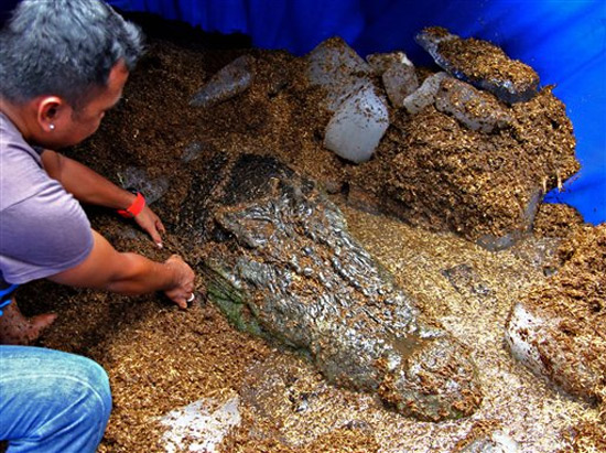 Cá sấu nước mặn lớn nhất thế giới chết