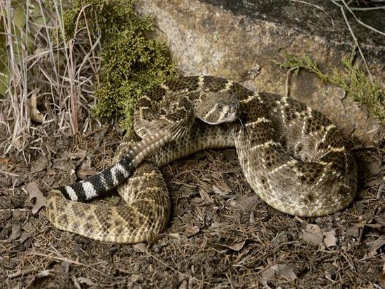 Một con rắn đuôi chuông.