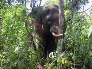 Đồng Nai: Xuất hiện voi rừng phá hoại rẫy hoa màu
