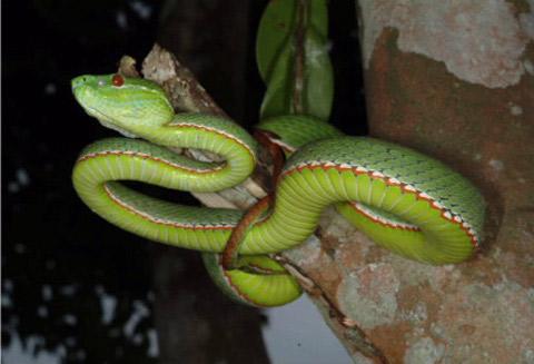 Rắn lục von-gen (Viridovipera vogeli)