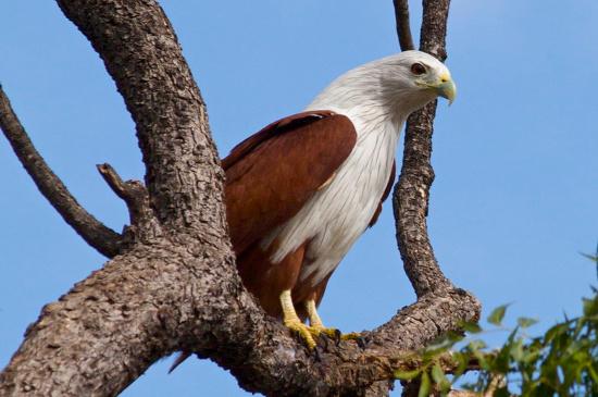Hiện tại, chúng đang là đối tượng bị săn lùng để làm chim cảnh hoặc huấn luyện chim săn ở Việt Nam.