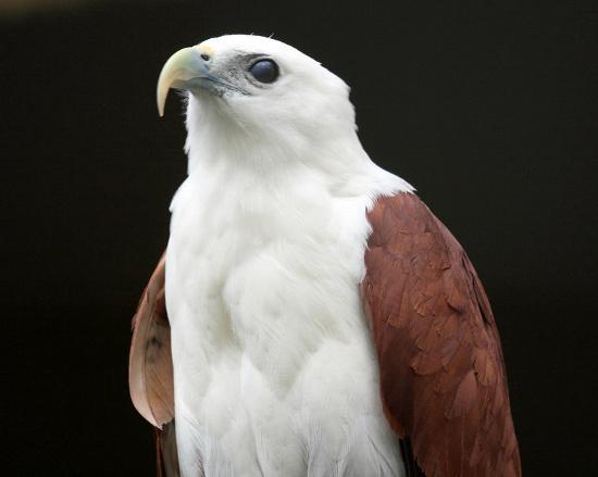 Chúng có phần đầu và bụng trắng muốt nổi bật giữa đôi cánh và phần lưng màu hung đỏ.