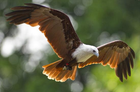 Loài chim này có mặt tại nhiều quốc gia Đông Nam Á, trong đó có VIệt Nam.