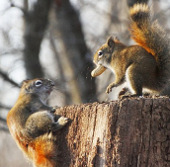 Cận cảnh 2 chú sóc đỏ quyết đấu vì củ lạc
