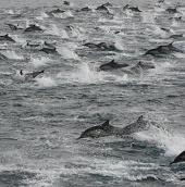 100.000 cá heo tụ tập bí ẩn ở bờ biển Mỹ