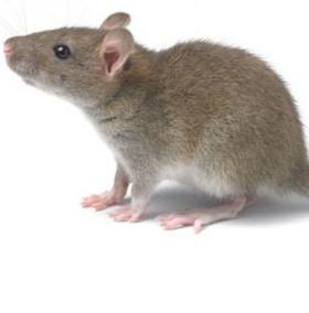 """Phát hiện """"giác quan thứ 6"""" ở chuột"""