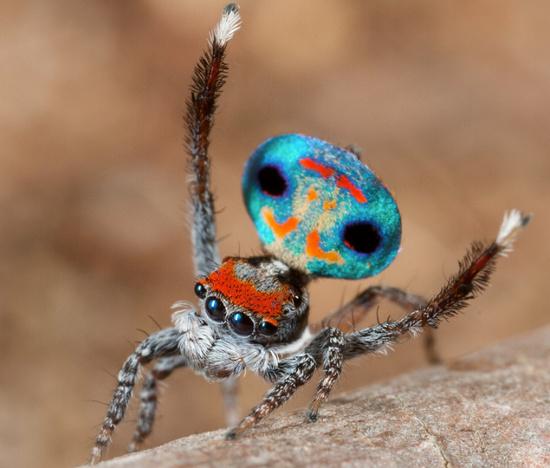 Những con nhện cái sẽ ngấu nghiến bạn tình của  mình sau khi kết thúc cuộc giao hoan.