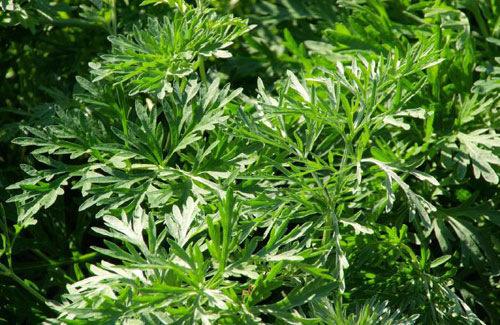 Chiết xuất từ cây ngải dùng để trị bệnh sốt rét