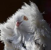 """Ảnh đẹp: Chim bồ câu sư tử """"tạo dáng"""""""