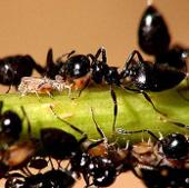 Video: Kiến bun đánh bại ong mật