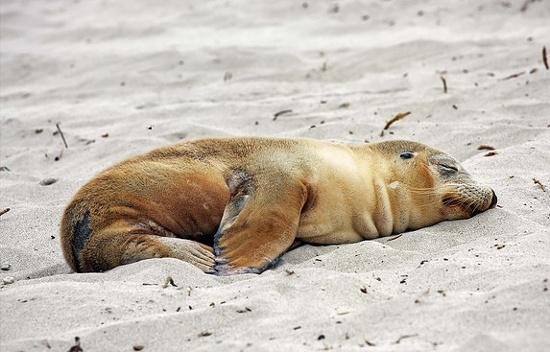 Lúc trên bờ, hải cẩu ngủ bình thường.
