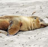 Hải cẩu chỉ ngủ với nửa não