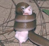 Video: Rắn chui vào hang chuột