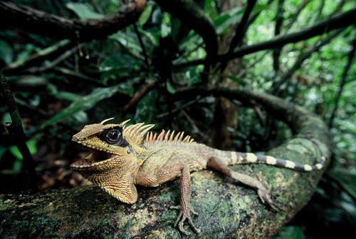 """Với miệng rộng, đầu có hai chiếc """"sừng"""" và lưng có hàng """"vây"""" lởm chởm, nhông Nataliae (Acanthosaura nataliae) trông thật giống một chú rồng thu nhỏ ược miêu tả trong truyền thuyết."""