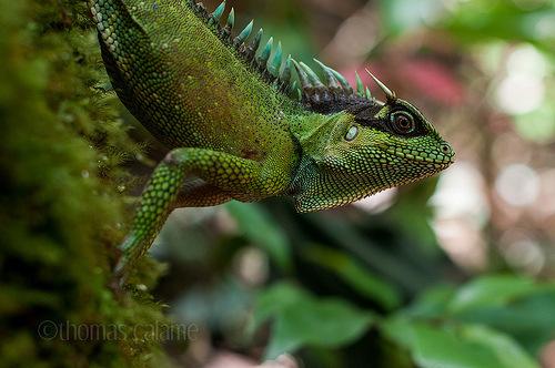 Chúng là một loài mới được phát hiện ở vùng rừng  thuộc tỉnh Thừa Thiên Huế của Việt Nam vào năm 2006.