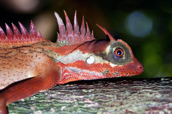 Không chỉ có hình dáng ấn tượng, nhông Nataliae còn có khả năng thay đổi màu sắc rất nhanh tùy theo điều kiện môi trường.