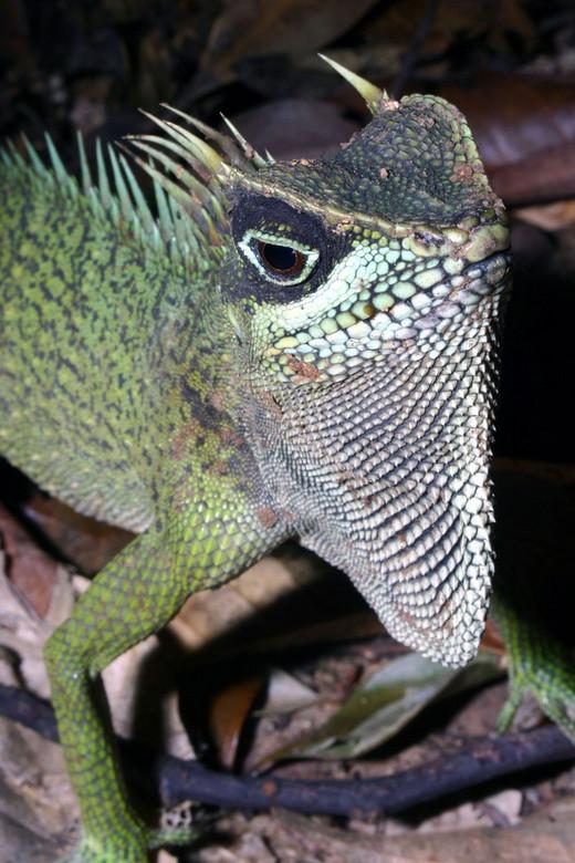 Do là một loài mới nên các dữ liệu khoa học về nhông Nataliae hiện vẫn chưa đầy đủ.