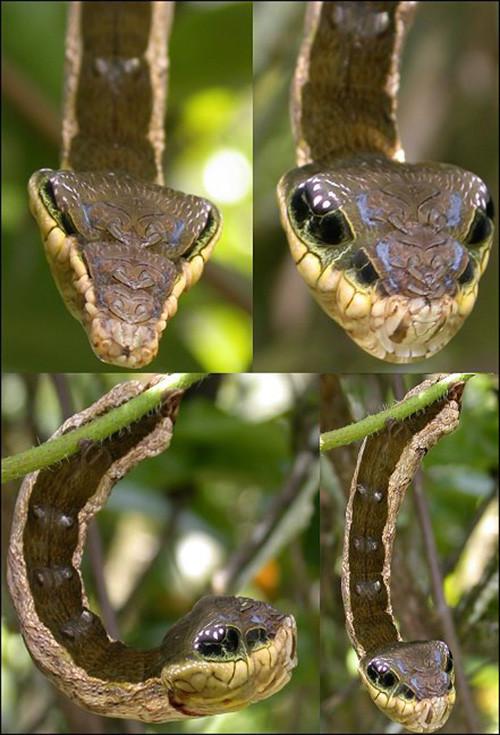 Loài sâu này là ấu trùng của một loài bướm đêm lớn tên là Deilephila elpenor.