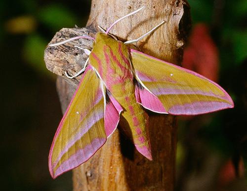 Bướm đêm Deilephila elpenor có màu hồng và phân bố khắp từ Địa  Trung Hải tới Châu Á Thái Bình Dương (ngoại trừ đảo Đài Loan).