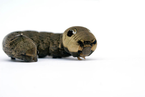 """Với khả năng biến hóa thành """"rắn"""" giống đến kinh  ngạc, nhiều loài phải e ngại trước loài sâu này…"""