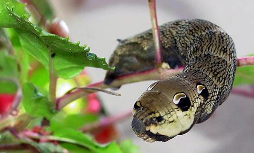Loài sâu kỳ quái này có khả năng giả màu sắc hoa  văn và cách di chuyển của những loài rắn khác nhau.
