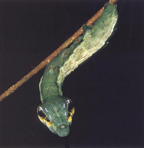 """Loài sâu này sở hữu đôi mắt cực kỳ """"tinh tường"""", đặc biệt khi quan sát vào ban đêm."""