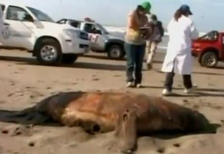 Các nhân viên môi trường thu thập dữ liệu về xác một con  vật trên bờ biển Lambayeque hôm 23/2.