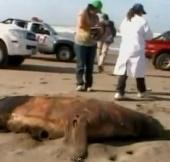 Cái chết bí ẩn của động vật biển tại Peru